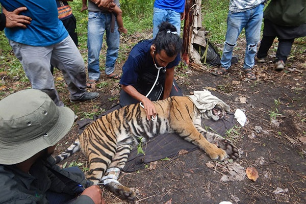Help us provide safety for tigers!